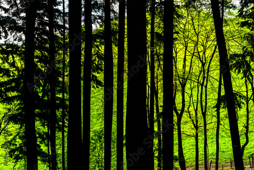 Papiers peints Forets Tall trees backlit by bright green grass