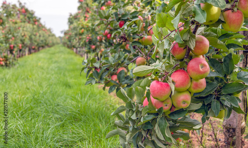 Foto Ripe red apples ready to be picked in an apple orchard