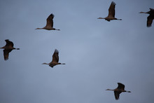 Sandhill Cranes In Flight Agai...