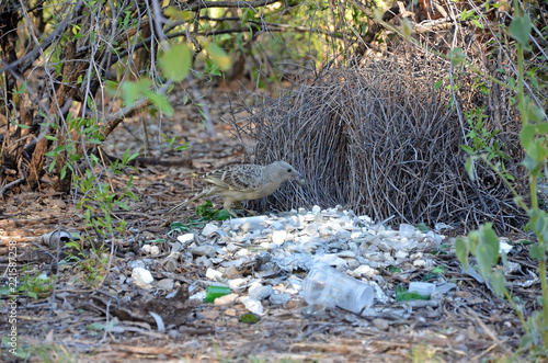 Australian Great Bowerbird, Chlamydera nuchalis, decorating a bower in the Boodjamulla National Park, north west Queensland Canvas Print
