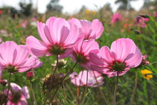Pink Cosmos Flowers In The Light Of The Setting Sun, In The Background, A Flower Meadow