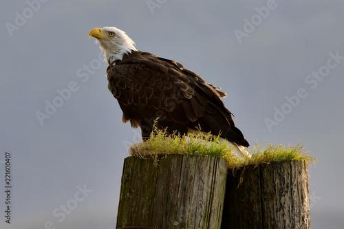 Bald Eagle perch