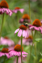 Isolated Bumblebee Pollenating A Pink Coneflower