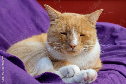 Domestic ginger cat with a swollen nose due to pus and abscess from infected cut Fototapet