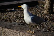 Portrait Of A Seagull. Urban Summer Portrait.