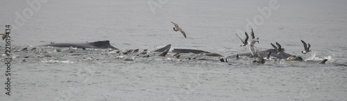 Feeding Frenzy of Humpback Whales, California Sea Lions and Birds, Monterey Bay