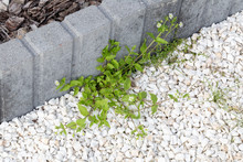 Green Weeds Growing In White Stones At Concrete Curb In Garden