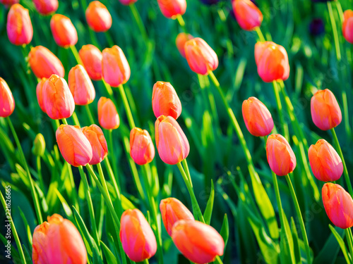 Foto op Canvas Bloemen Flowering orange tulips in the rays of a bright sun