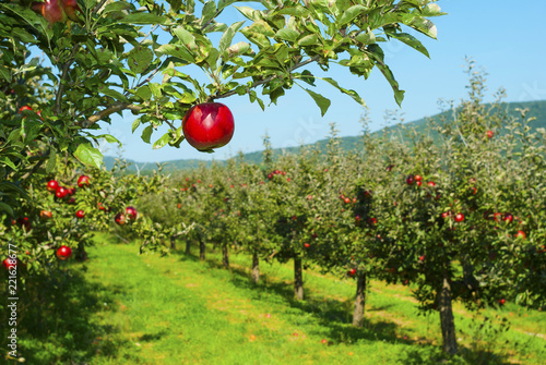 Foto Apple orchard