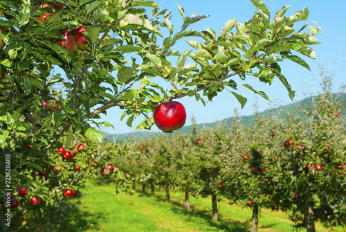 Apple orchard Canvas