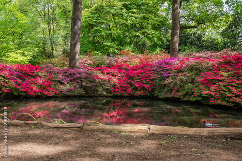 Keuken foto achterwand Azalea Blooming Azaleas at Still Pond in Isabella Plantation, Richmond Park