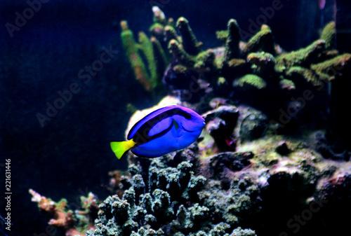 Photo  Blue Hippo Tang - Paracanthurus hepatus