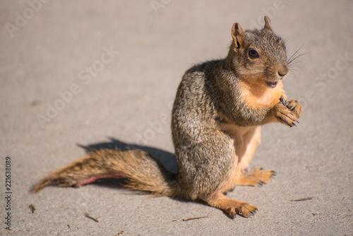 Foto op Plexiglas Eekhoorn A squirrel chews a bite of food