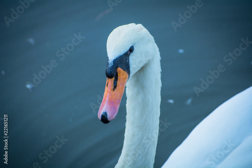 Swan in the city pond