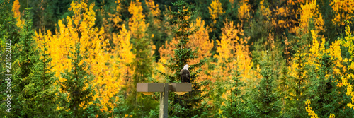 Staande foto Centraal-Amerika Landen Bald Eagle wildlife in Alaska forest in autumn foliage trees background panorama banner.