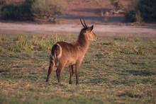 Red Lechwe Antelope In Chobe N...