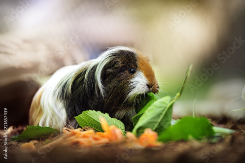 Fotografie, Obraz  Meerschweinchen frisst