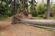 umgefallener Baum 1