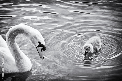 Foto op Canvas Zwaan White mother swan swim with her young