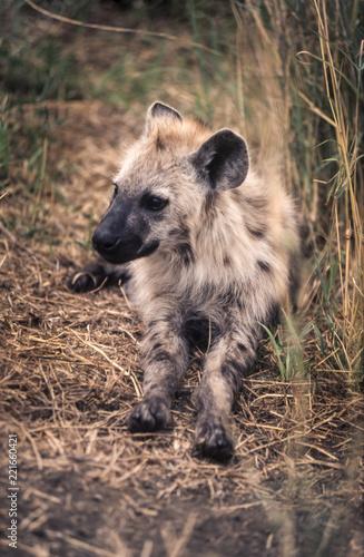 Poster Hyène Spotted Hyeana (Crocuta crocuta), Kruger National Park, Mpumalanga, South Africa