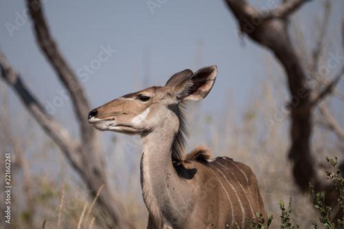 Staande foto Antilope Femail Kudu in Chobe National Park, Botswana