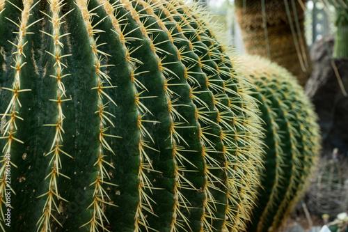 Spoed Foto op Canvas Cactus サボテン