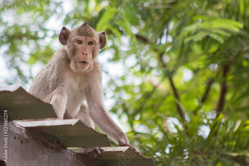 Foto op Canvas Aap Cute monkey on the roof