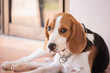 portrait of puppy beagle dog, animal concept