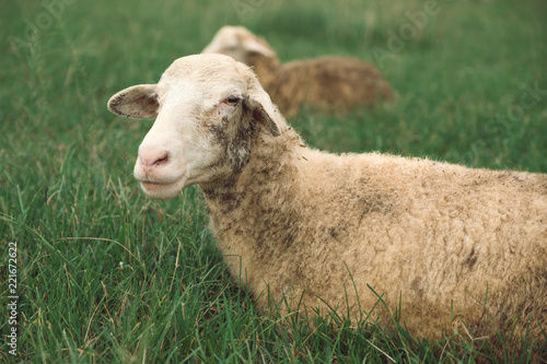 Closeup image of sheep in green grass field at countryside farm