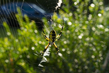Large Orb Weaving Spider, Yellow And Black Garden Spider