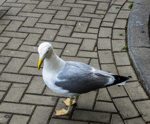 A Silver Gull Is Fed On The Market In Riga.