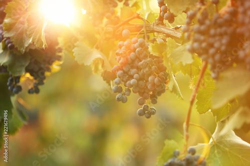 Papiers peints Vignoble Fresh ripe juicy grapes growing on branches in vineyard