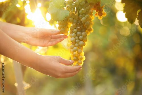 Papiers peints Vignoble Woman picking fresh ripe juicy grapes in vineyard, closeup