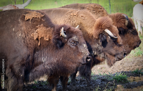 Buffalo grazing in pasture