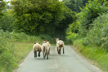 Sheep Running Down A Narrow La...