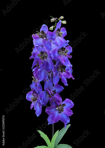 Photographie Blue delphinium isolated on a black background with clipping path