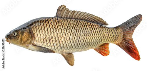 Fish carp with scales. Raw river fish. Fresh goldfish, side view. Isolated on white background