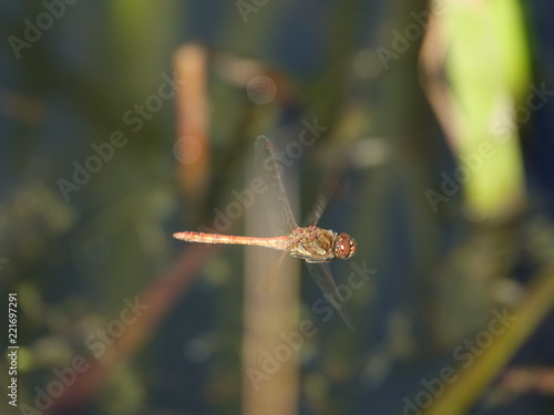 Fotografia, Obraz  Male common darter dragonfly (Sympetrum striolatum) in flight above small pond