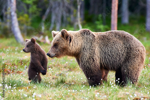 Photographie Mother bear and cub. Mother bear and cub. Focus on cub.