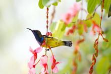 Olive-backed Sunbird (Cinnyris...