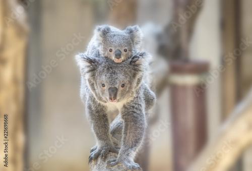 Garden Poster Koala コアラの親子