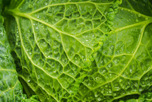Fresh Green Cabbage Leaves Wit...