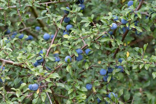 Photo  Sloe bush full of purple berries in autumn