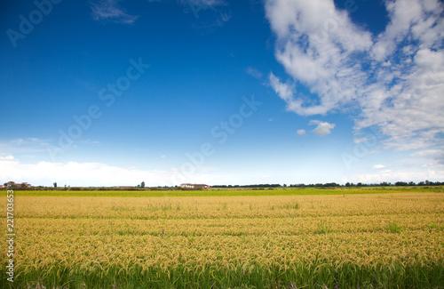 Foto  Italian rice fields in summer