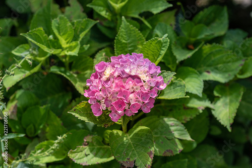 Color outdoor floral macro of a single flowering pink white hydrangea / hortensia blossom with petals and leaves taken on a sunny summer day with natural background in the shadow
