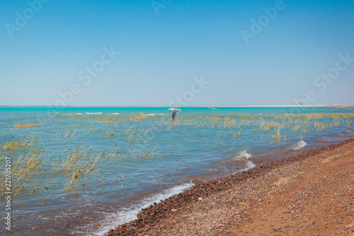 flock of seagulls looking for food on the shore of a lake with reeds