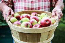 Organic Apple Harvest, Man Holding Freshly Harvested Apples In Bushel Basket