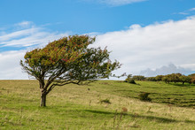 A Windswept Tree On A Sussex H...