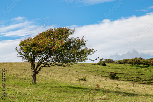 A windswept tree on a Sussex hillside, along the South Downs Way