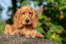 Puppy Dog Cocker Spaniel Portrait On Grass